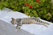 stock photo of geranium  - A cat sleeping next to the  geraniums plant - JPG