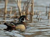 foto of duck-hunting  - A pretty Male Wood Duck in the spring - JPG
