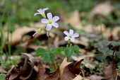 foto of sorrel  - A wild violet wood sorrel wildflower native to the united states grows on the forest floor - JPG