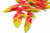 foto of heliconia  - Tropical red Hanging Heliconia or Hanging Lobster Claw - JPG