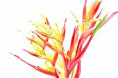 stock photo of heliconia  - Tropical red Heliconia flower - JPG