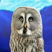 stock photo of laplander  - Portrait of Great Grey Owl or Lapland Owl  - JPG