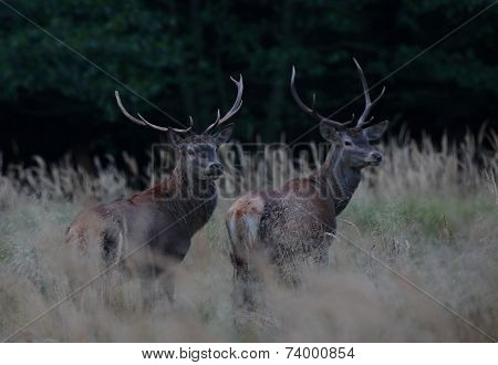Red Stags