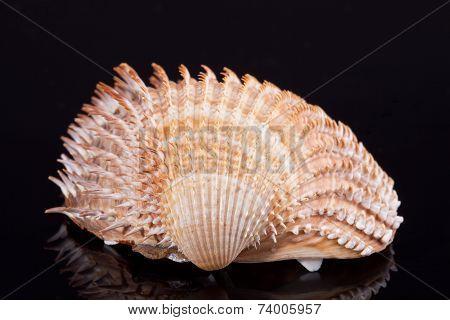 single seashell isolated on black background close up