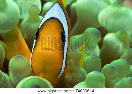 anemone fish / clown fish