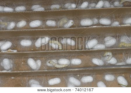 silk worm cultivation