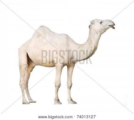 The Arabian camel or The Dromedary (Camelus dromedarius) isolated on white background.