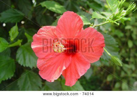 Isolated Hibiscus