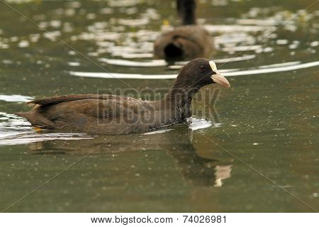Common Coot Swimming On Pond