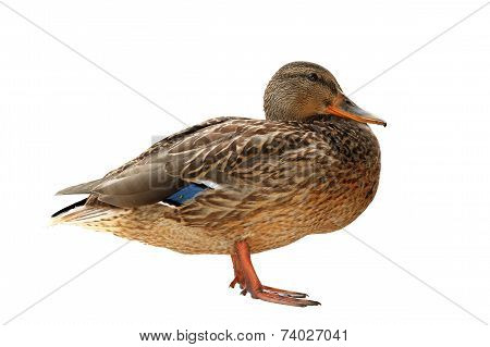 Female Mallard Isolated Over White