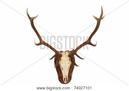 Majestic Red Deer Stag Hunting Trophy