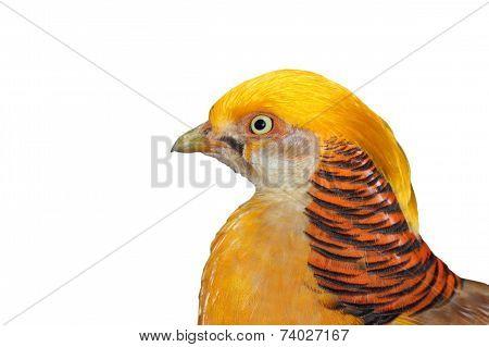 Portrait Of A Golden Pheasant
