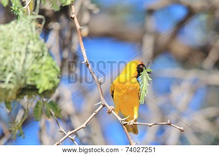 Southern Masked Weaver - African Wild Bird Background - Golden Nature and Peace Symbol