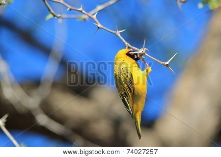 Southern Masked Weaver - African Wild Bird Background - Just Hanging Around