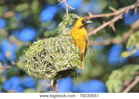 Golden Masked Weaver - African Wild Bird Background - Pride of Home