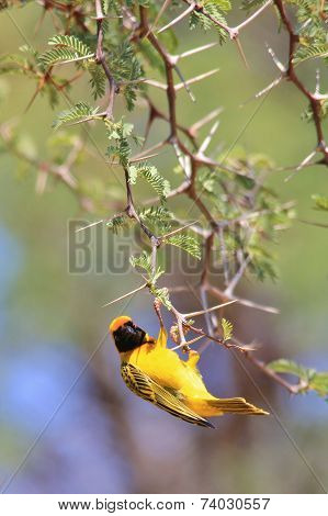 Golden Masked Weaver - African Wild Bird Background - Sharp Beauty
