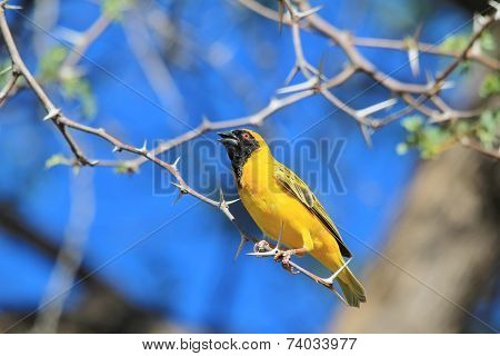 Golden Masked Weaver - African Wild Bird Background - Posture of Color