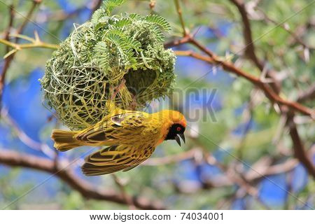 Golden Masked Weaver - African Wild Bird Background - Nest Hanger