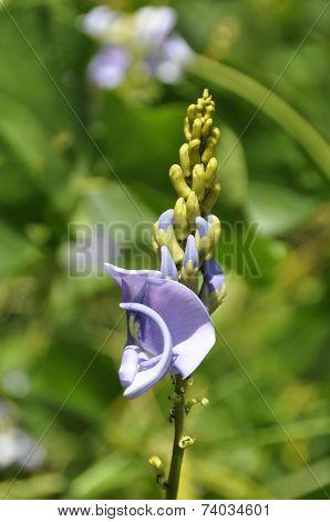 Kudzu (Pueraria thunbergiana)