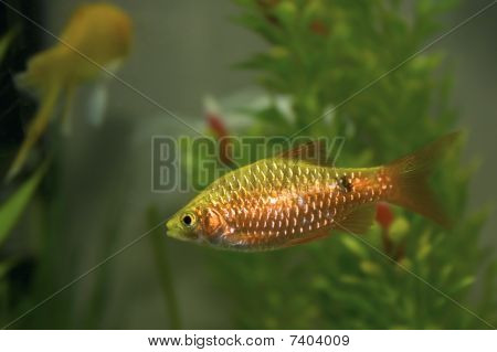 Gold Barb Fish