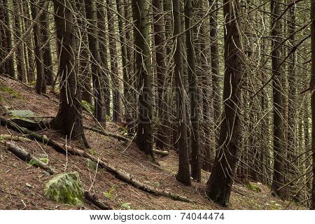 Beautiful Mysterious Wild Forest On The Hillside