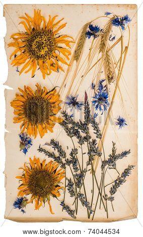 Dried Flowers On Aged Paper Sheet. Herbarium Of Sunflowers, Cornflower, Lavender