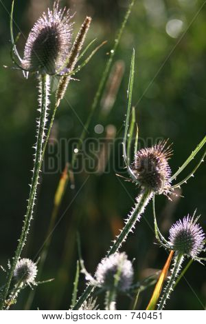 Thistle in the morning sun