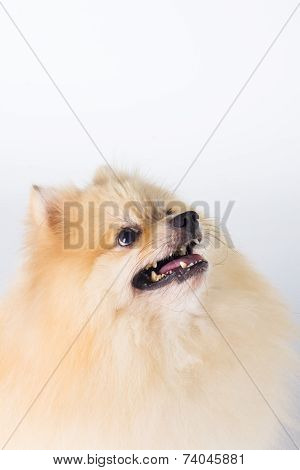 Pomeranian Show Champion Dog, On White Background