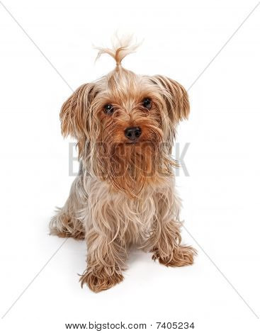 Yorkshire Terrier With Pigtail