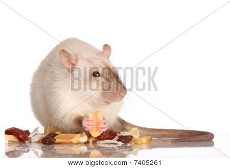 Pet Rat Eating