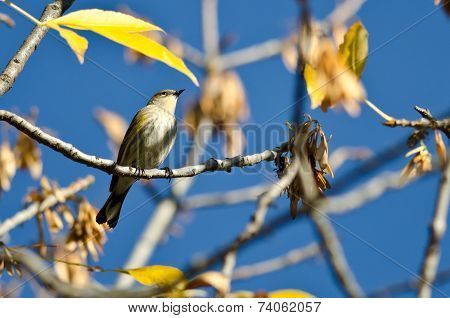 Yellow-rumped Warbler Perched In An Autumn Tree