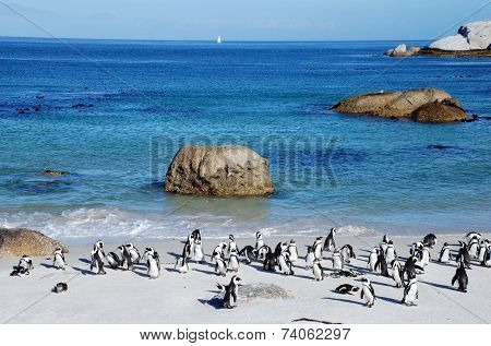 Penguin Colony On The Ocean Beach Near Capetown