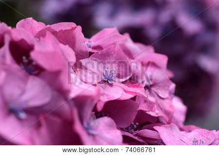 Purple Hydrangea Blossoms In The Rain