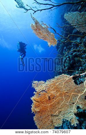 Technical divers and red fan coral