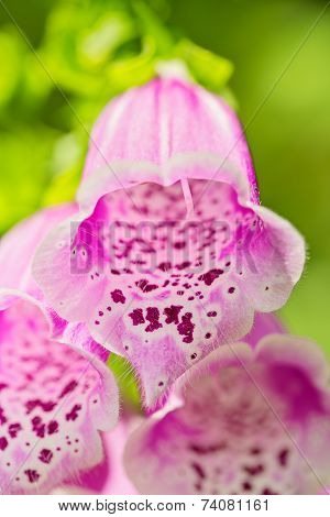 Foxglove, Purple Bell Flower, Close Up