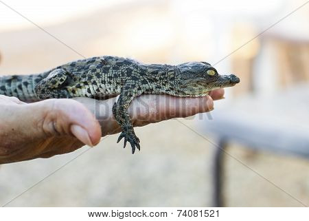 Newborn American Alligator