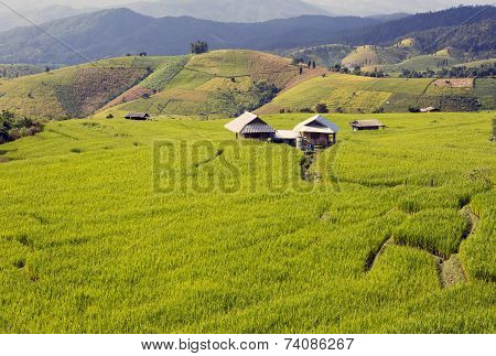 Farmer house in rice field