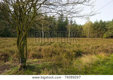 Heath in a pine forest at fall