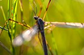 stock photo of mayfly  - A mayfly in the sun grass a summer day - JPG