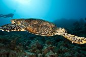 stock photo of endangered species  - hawksbill sea turtle, a critically endangered species