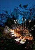 foto of lion-fish  - Lion fish - JPG