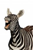 stock photo of hairy tongue  - Zebra with mouth open looking like it is laughing  - JPG