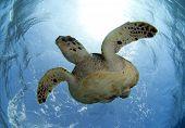 foto of endangered species  - hawksbill sea turtle - JPG