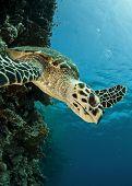 stock photo of endangered species  - hawksbill sea turtle - JPG