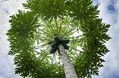 foto of papaya  - Papaya tree seen from below - JPG