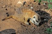 stock photo of meerkats  - The meerkat or suricate Suricata suricatta is a small mammal belonging to the mongoose family - JPG