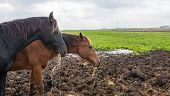 picture of horses eating  - A light brown and a dark brown horse each are eating hay in a muddy part of the meadow on a cloudy day in autumn - JPG