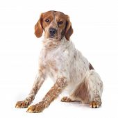 pic of epagneul  - portrait of a brittany spaniel in front of white background - JPG