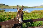 stock photo of galway  - Donkey in a field Connemara, County Galway, Ireland, Europe