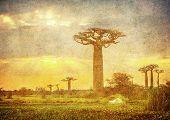 stock photo of baobab  - Highly detailed vintage image of Baobabs avenue Madagascar - JPG